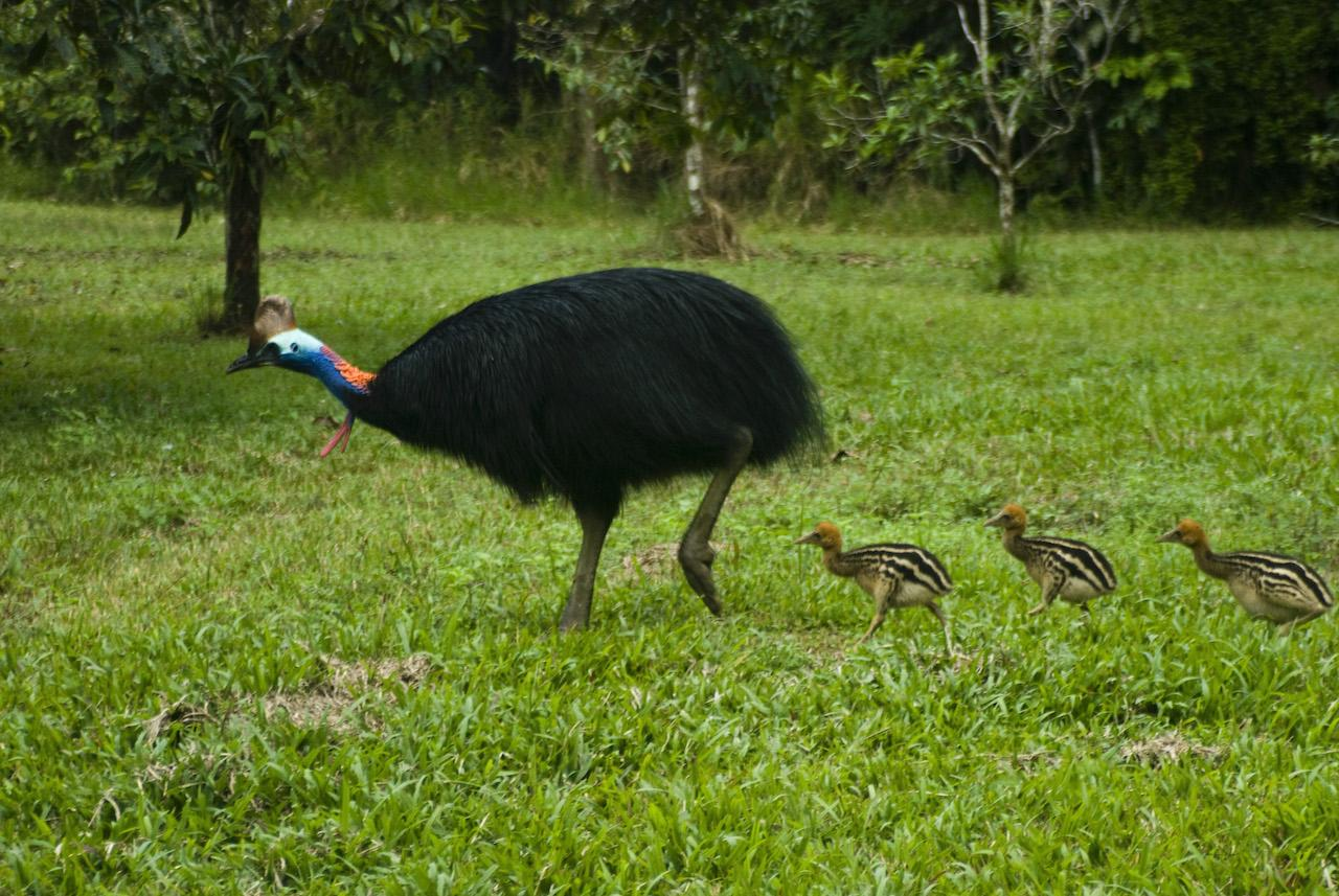 Kelvin Marshall cassowary reduced