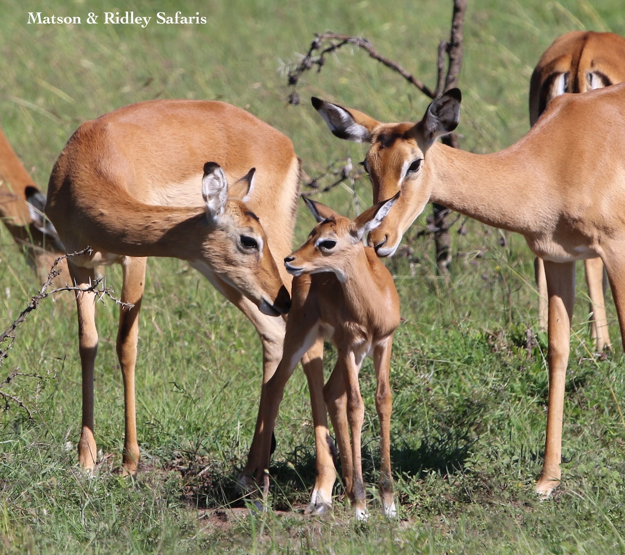 newborn impala with mother reduced