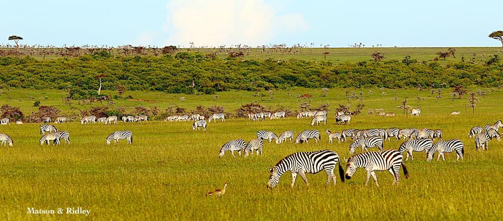 zebras on plains reduced for web