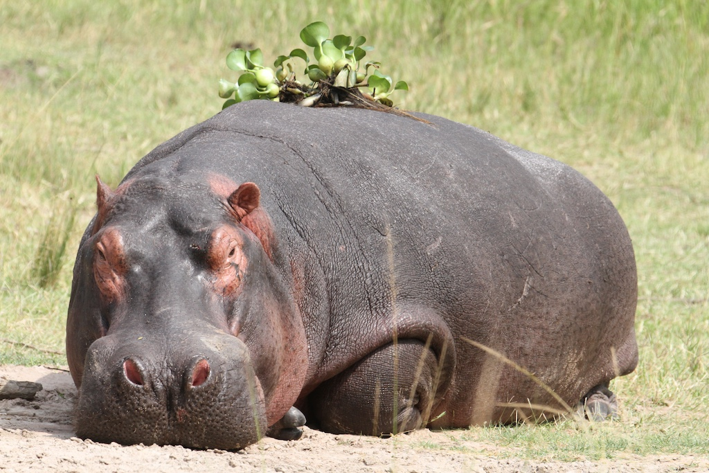 Hippo Jes Gruner reduced