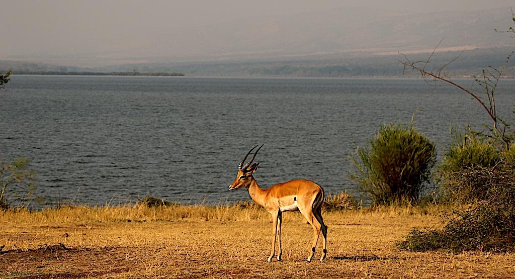 impala Akagera reduced