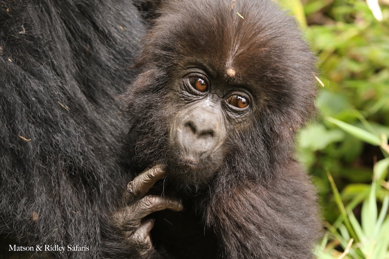 baby gorilla 2 reduced 2