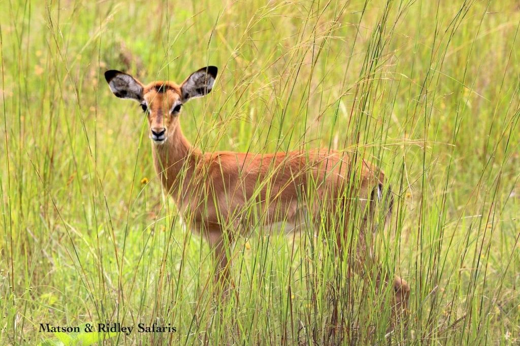 baby impala long grass reduced
