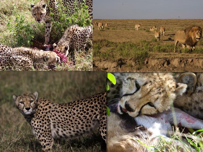 Anouk big cats Serengeti