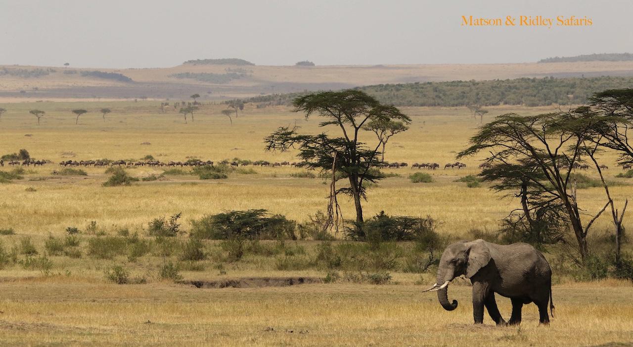 ele and wildebeest Serengeti reduced