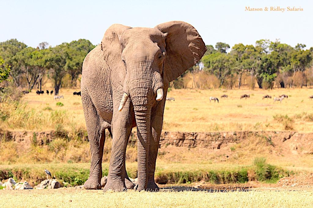elephant bull reduced