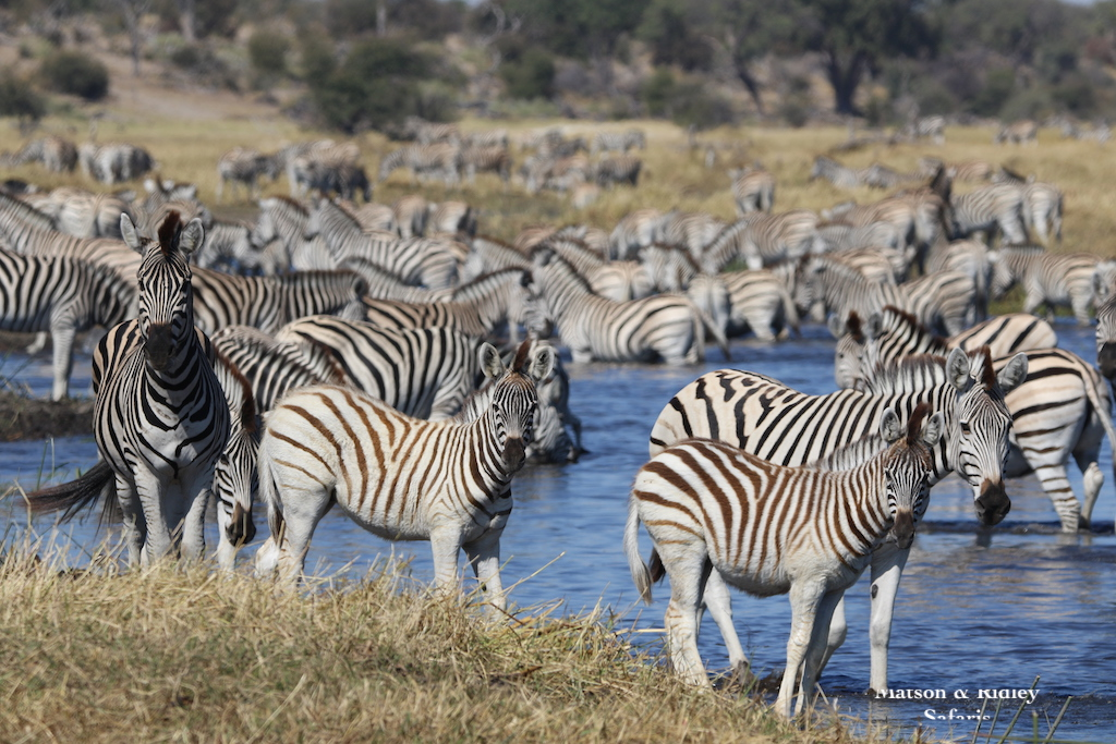 zebras en masse reduced
