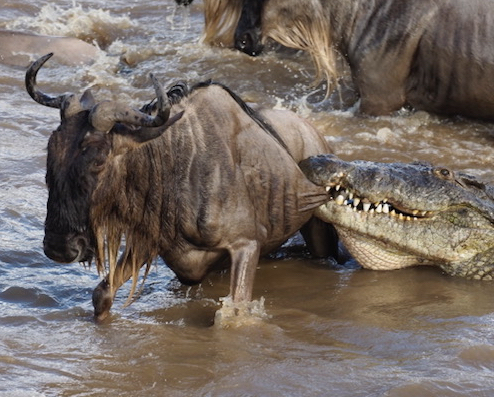 Annabelle Symes wildebeest and croc cropped