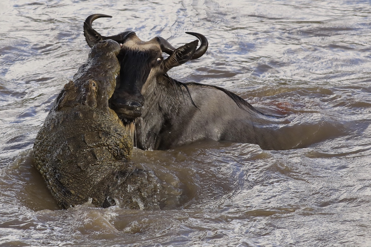 Gillian van den Bok croc with wildebeest Serengeti Aug 2019 reduced for blog