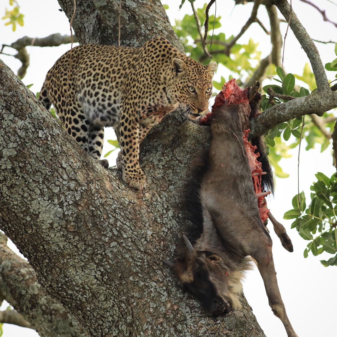 Gillian van den Bok leopard kill Serengeti Aug 2019 reduced for blog