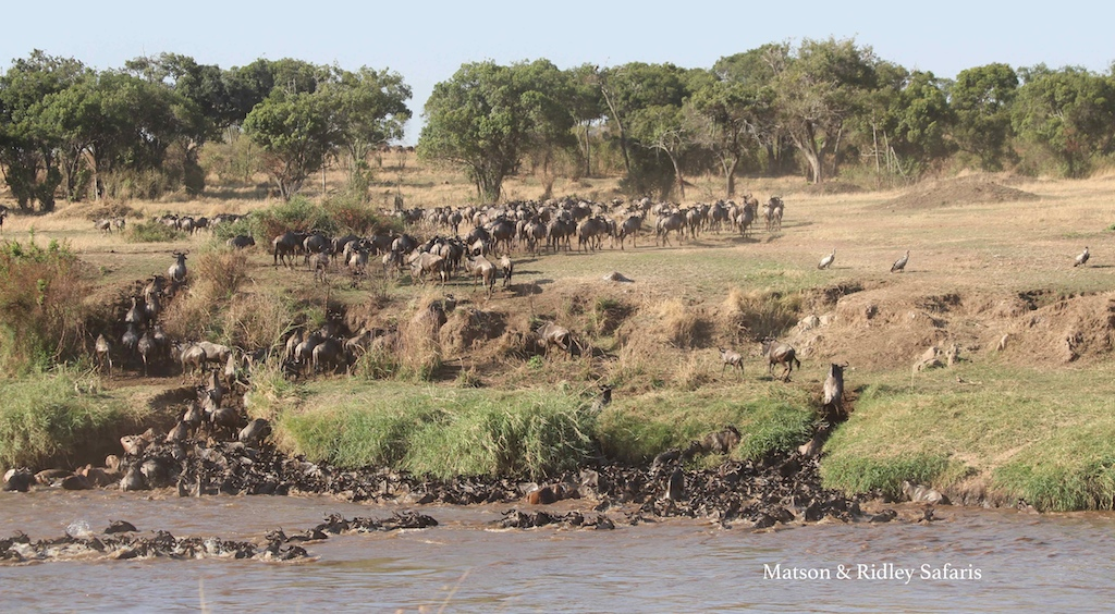 river crossing wildebeest reduced