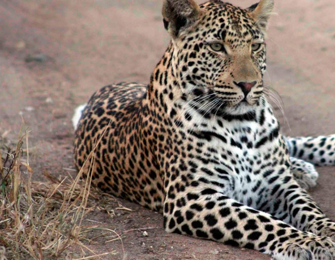 Leopard at Tintswalo, South Africa (photo: Tintswalo)