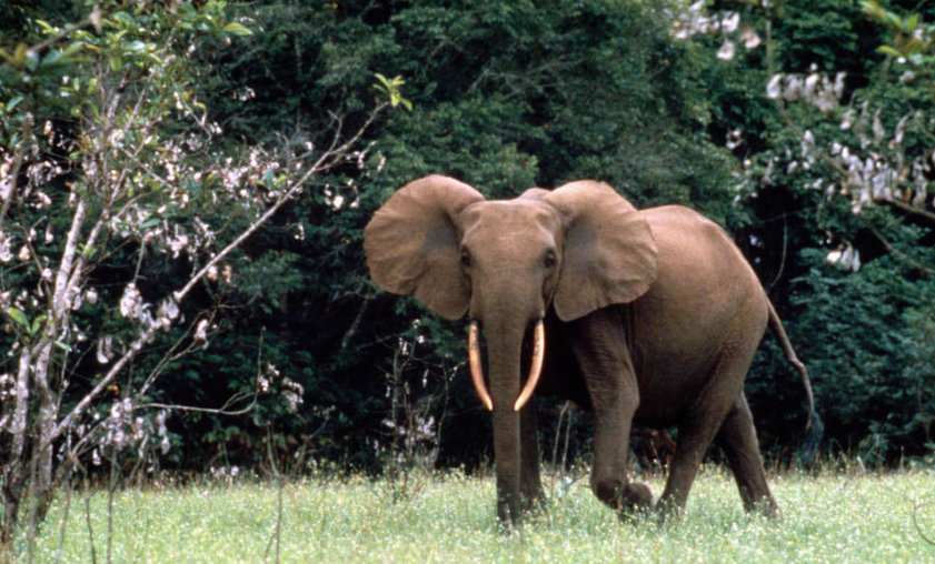 Forest elephants have yet to be recognised by the IUCN as a separate species, even though DNA studies show this to be the case.