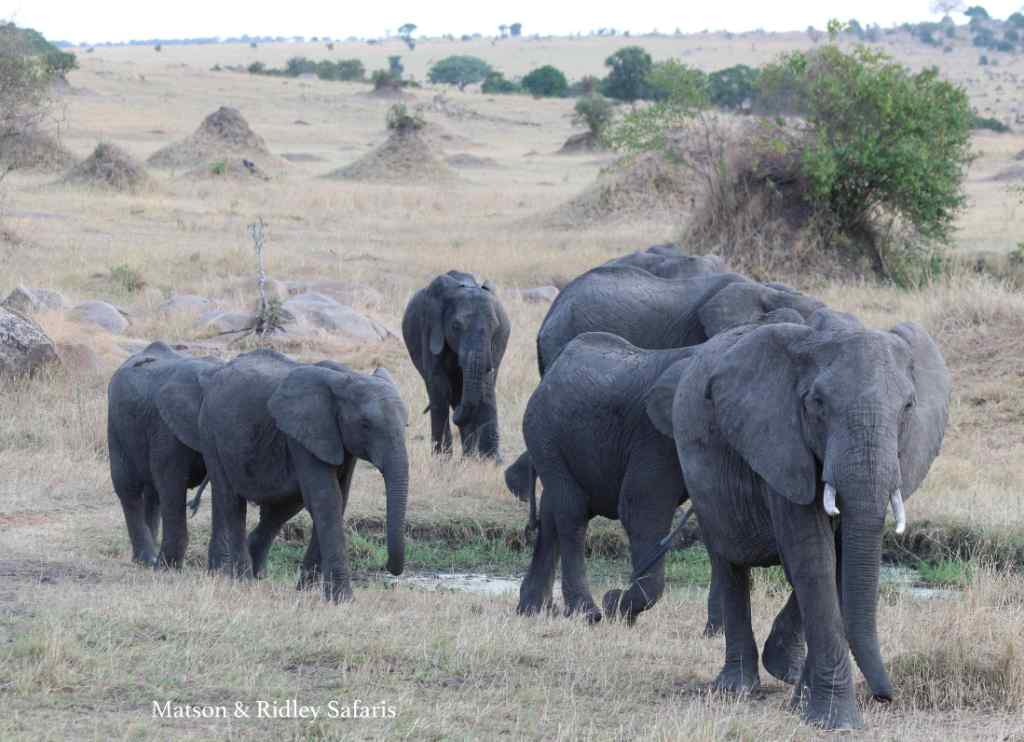The elephant population of Tanzania has been hard hit by poaching, losing 60% in the last 5 years, but the population in Serengeti is doing better than parks in the south.