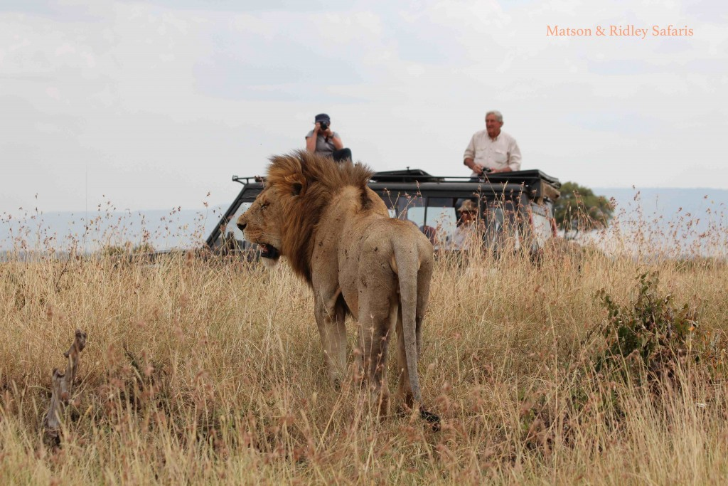 Our group watches a\n exhausted male lion (in between a week of mating every twenty minutes)