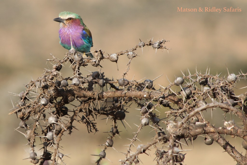 A magnificent roller on whistling thorn Acacia bush
