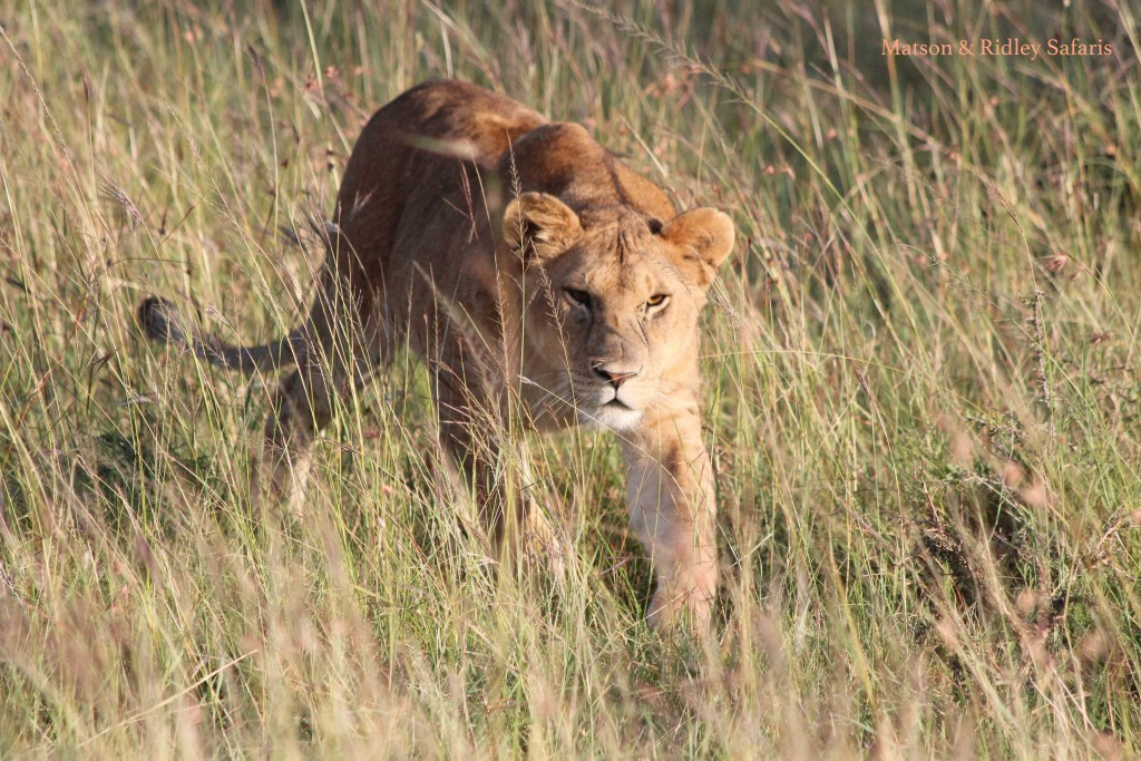 Young lioness stalking - not a wildebeest but her brother!