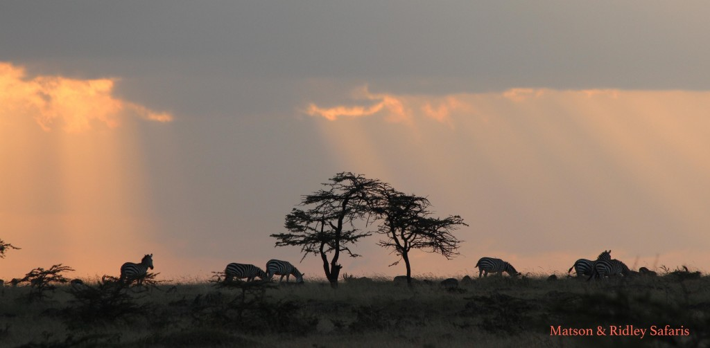Zebras at sunset.  I took this photo while watching a pride of lions right next to the car, which shows you that we saw a lot of lions in that I was starting to watch zebras instead!